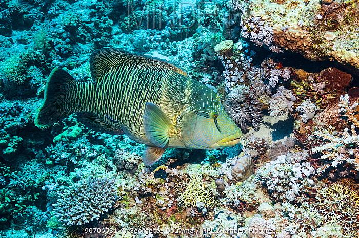 Napoleon wrasse (Cheilinus undulatus), female.  Egypt, Red Sea.