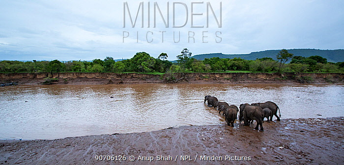 Elephant herd (Loxodonta africana) crossing the Mara River. Maasai Mara National Reserve, Kenya. December