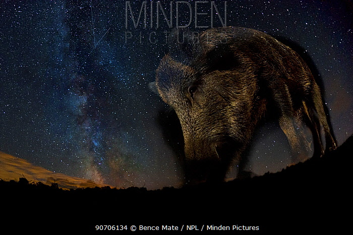 Wild boar (Sus scrofa) at night with the milky way in the background, Gyulaj, Tolna, Hungary. August. Taken using long exposure with flash at night. Winner of the Mammals Category of the GDT Awards 2015. Overall winner of the MontPhoto Competition 2015.
