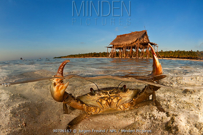 Mud crab (Scylla serrata) in shallow sandy water. Split level with island and thatched house on stilts. Moromahu Island, Wakatobi, South Sulawesi, Indonesia. Second Place in the Portfolio Award of the Terre Sauvage Nature Images Awards Competition 2015.