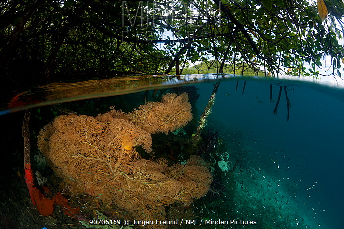 Gorgonian fan coral (Gorgonaceae) in the shallow mangroves, split level. North Raja Ampat, West Papua, Indonesia. Second Place in the Portfolio Award of the Terre Sauvage Nature Images Awards Competition 2015.