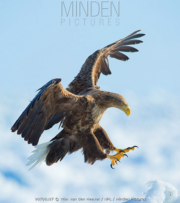 White tailed sea eagle (Haliaeetus albicilla) in flight landing, Hokkaido, Japan, February.