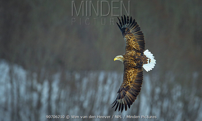 White tailed sea eagle (Haliaeetus albicilla) in flight, Hokkaido, Japan, March.