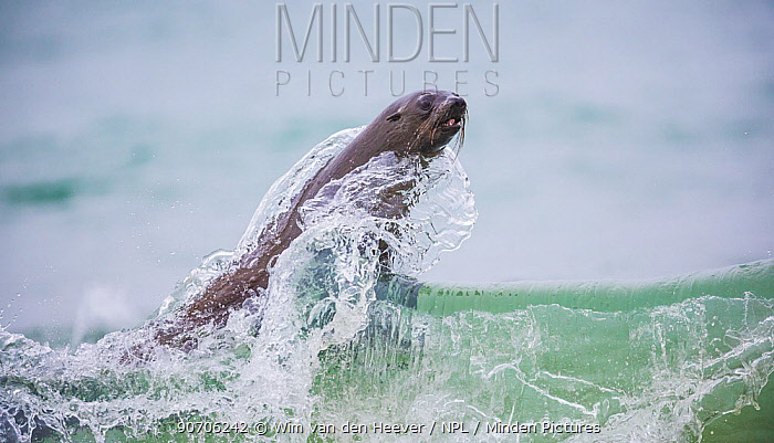 South African fur seal (Arctocephalus pusillus pusillus) playing in the waves, Walvis Bay, Namibia.