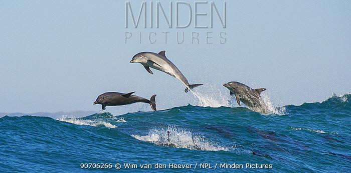 Bottlenosed dolphins (Tursiops truncatus) porpoising during annual sardine run, Port St Johns, South Africa, June.