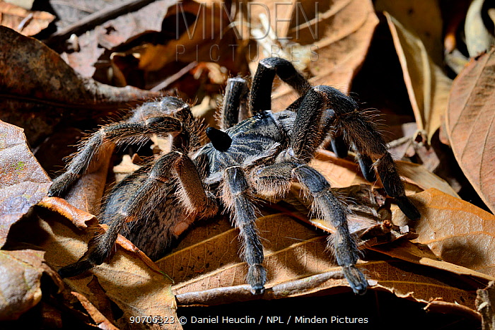 Horned birdspider (Ceratogyrus marshalli) captive, occurs in South Africa