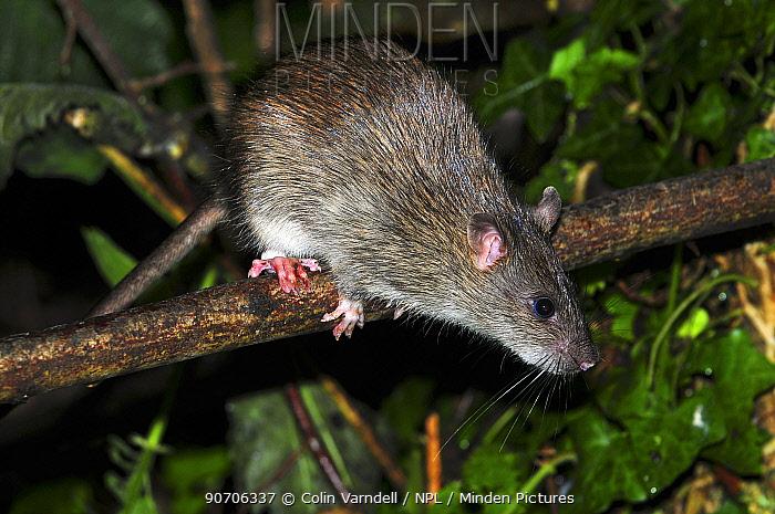 Brown rat (Rattus norvegicus) climbing in hedge. Dorset, UK, August.