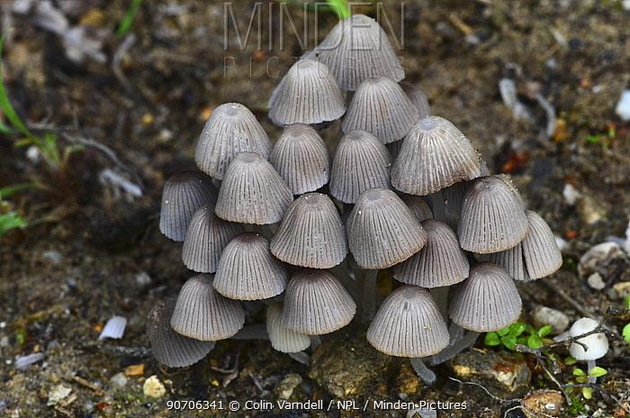 Fairies' bonnets toadstools (Coprinellus disseminatus) Dorset, UK August.