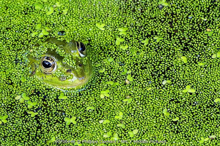 Edible frog (Pelophylax esculentus) among duckweed in pond, La Brenne, France, June