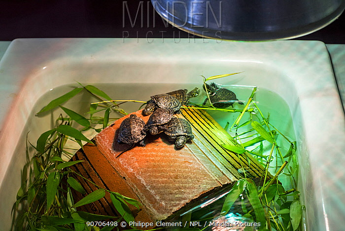 Baby European pond turtles (Emys orbicularis) kept under hot lamp in basin, at breeding program at the Haute Touche Zoological Park, La Brenne, Indre, France, June 2015.