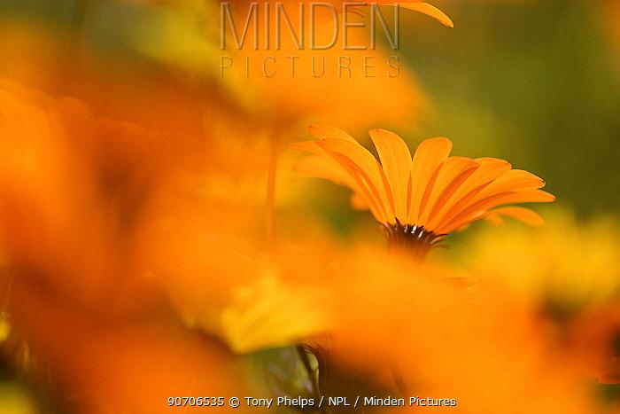 Parachute daisies (Ursinia anthemoides) Little Karoo, Western Cape, South Africa.