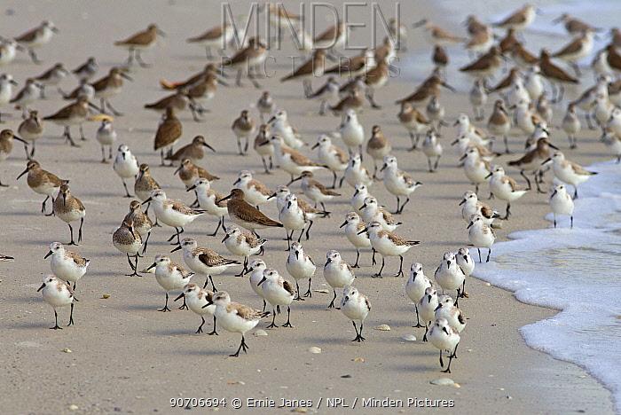 Sanderlings (Calidris alba) and Dunlins (Caldris alpina) resting, Fort Myers Beach, Gulf Coast, Florida, USA, March.