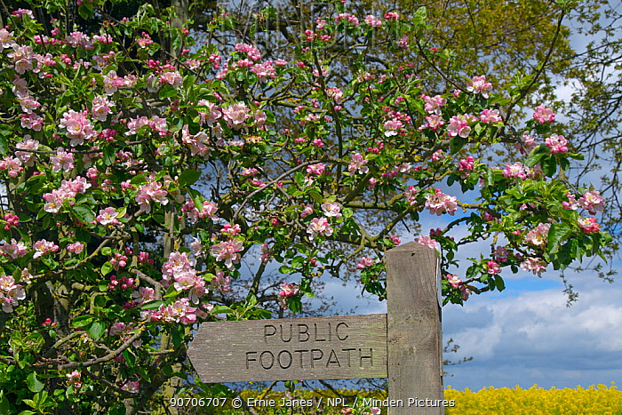 Footpath sign  against Apple blossom (Malus domestica) and field of Oilseed rape (Brassica napus) in flower, Norfolk, England, UK, March.
