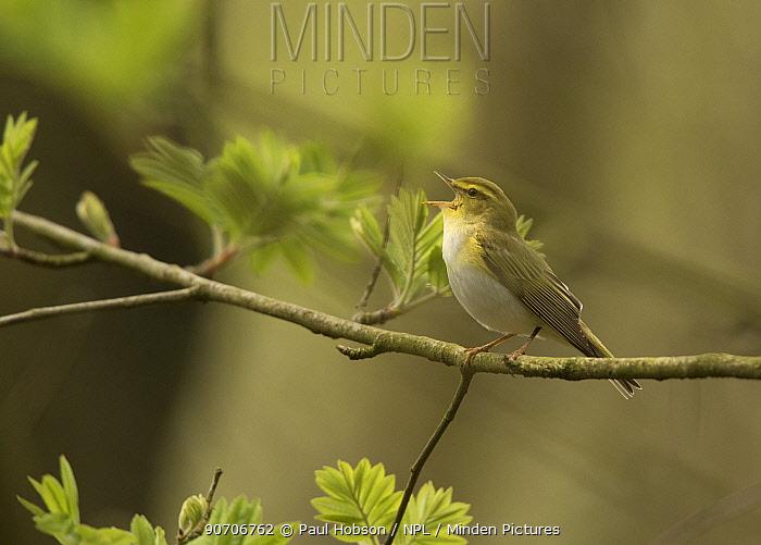 Wood warbler (Phylloscopus sibilatrix) singing male in canopy, Derbyshire, England, UK, May.
