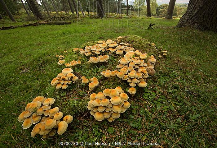 Sulphur tuft fungi (Hypholoma fasciculare) wide angle view, Derbyshire, England, UK, October.