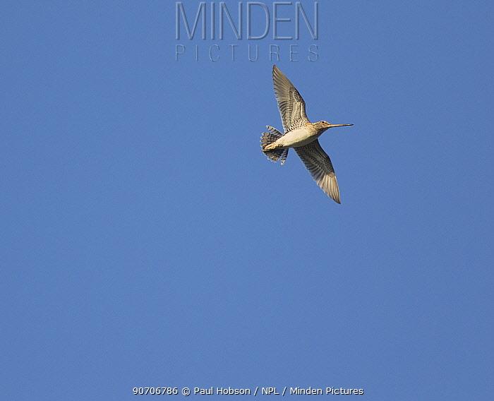 Snipe (Gallinago gallinago) in flight drumming, Sheffield, England, UK, April.