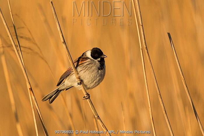 Minden Pictures Reed Bunting Emberiza Schoeniclus Male Perched In Reeds Derbyshire England Uk April