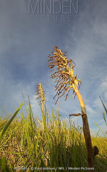 Lizard orchid (Himantoglossum hircinum) adult flower, Suffolk, England, UK, July.