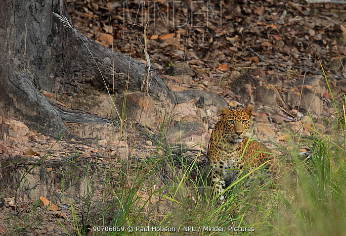 Indian leopard (Panthera pardus fusca) among rocks and old trees, Bandhavgarh, India.