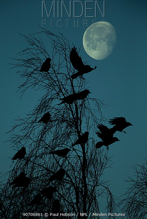 Jackdaw (Corvus monedula) flock roosting night with moon, UK, December.
