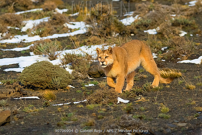 Puma (Puma concolor) in high altitude habitat, Torres del Paine National Park, Chile.