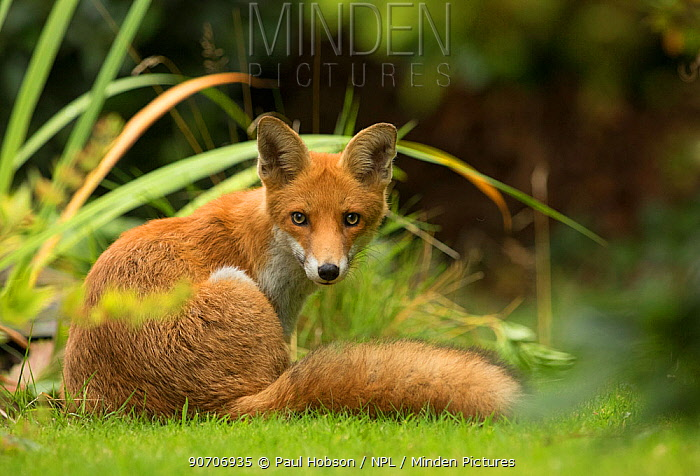 Fox (Vulpes vulpes) young in garden, Sheffield, England, UK, August.