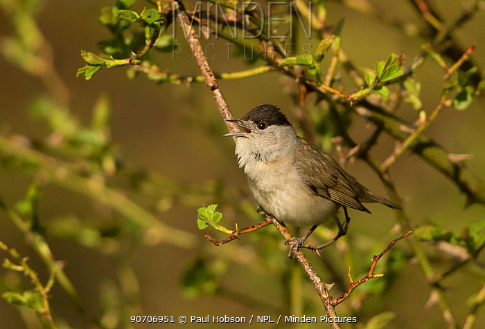 Male Blackcap (Sylvia atricapilla) perched in tree, South Yorkshire, England, UK, April.