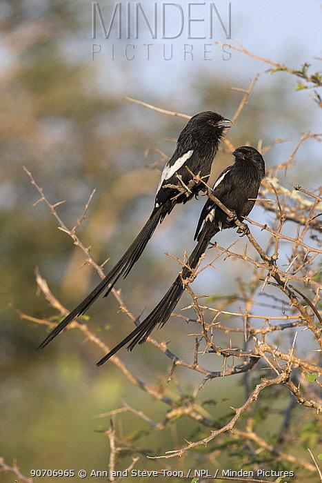 Magpie shrikes (Corvinella melanoleuca), Kruger national park, South Africa, May