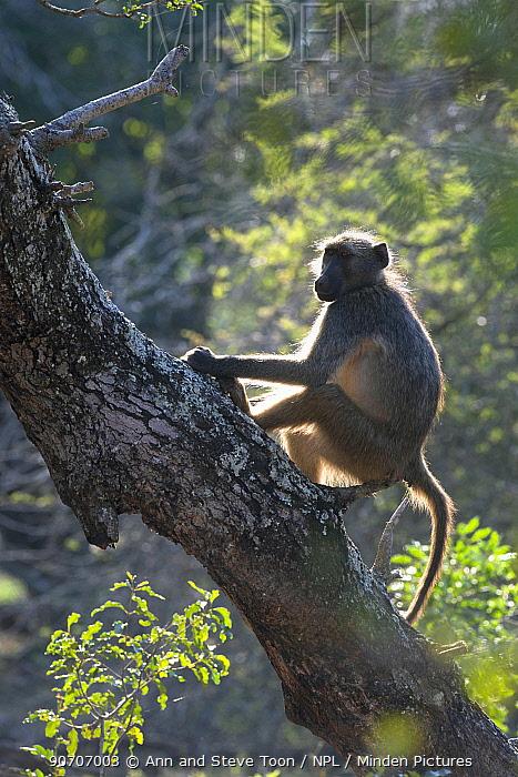 Chacma baboon (Papio ursinus) backlit on tree, Mkhuze Game Reserve, KwaZulu-Natal, South Africa, June