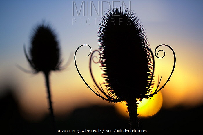 Teasel seedhead (Dipsacus fullonum) silhouetted at sunset. Peak District National Park, Derbyshire, UK. September.