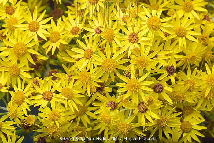 Common ragwort (Senecio jacobaea) flowers. Peak District National Park, Derbyshire, UK. August.