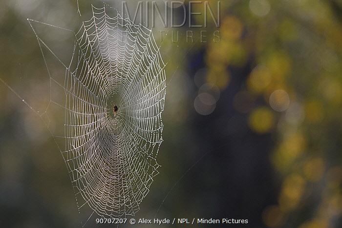 Garden spider (Araneus diadematus) female in orb web. Thursley Common National Nature Reserve, Surrey, UK. October.