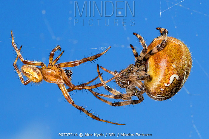Four-spot orb weaver spider (Araneus quadratus) male approaching larger female to mate. Peak District National Park, Derbyshire, UK. October.