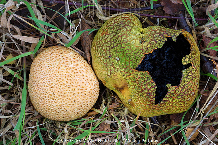 Common earthball fungus (Scleroderma citrinum) showing old and new fruiting bodies. Sherwood Forest National Nature Reserve, Nottinghamshire, UK. October.