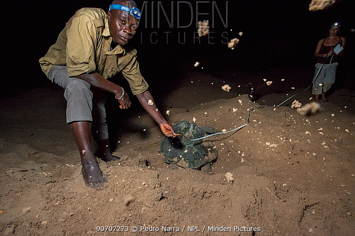 Man and woman undertaking monitoring work measuring  Green turtle (Chelonia mydas) nests as the the female digs it, Bissagos Islands, Guinea Bissau. Endangered species.  3rd Place in the SOS Especes Menacees / SOS Endangered Species Portfolio category of the Terre Sauvage Nature Images Awards Competition 2015.