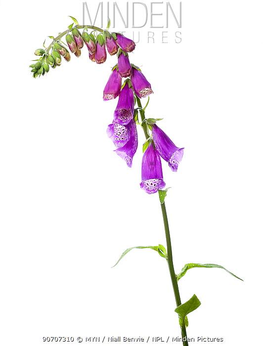 Foxglove (Digitalis purpurea) Belgium, May.