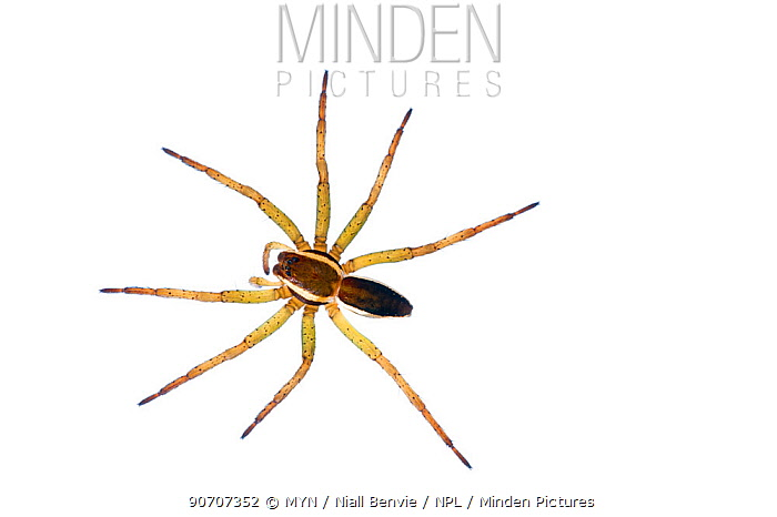 Raft spider (Dolomedes fimbriatus) Burgundy. France, April.