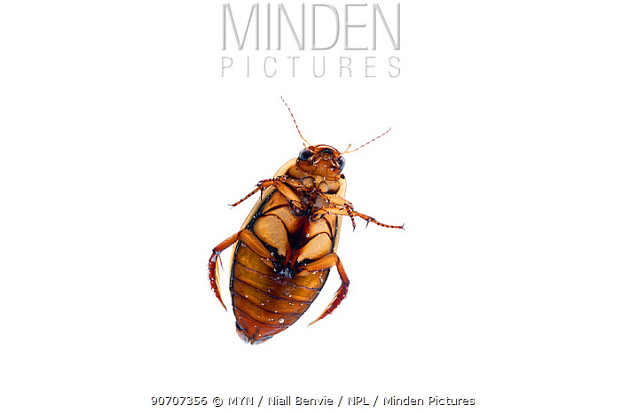 Great diving beetle (Dytiscus marginalis) underwater, Burgundy, France. April.