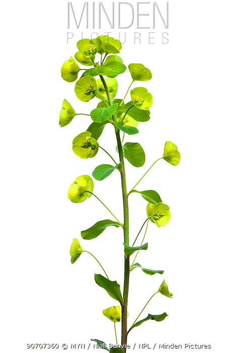 Wood spruge  (Euphorbia amygdaloides) in flower, Burgundy, France, April.