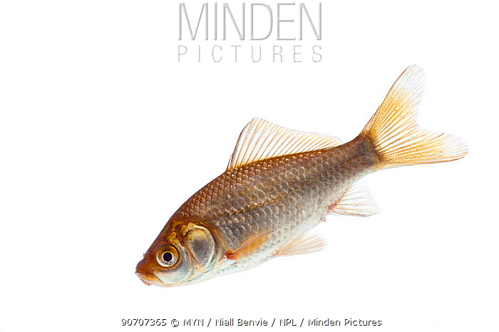 Goldfish (Carassius auratus) introduced species, Burgundy, France, April.