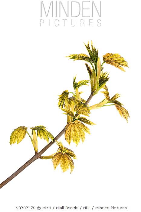 Emerging Sycamore leaves (Acer pseudoplatanus) Scotland, UK, May.