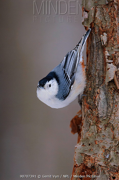 White-breasted nuthatch (Sitta carolinensis) male climbing down tree trunk, Tompkins County, New York, USA. January.