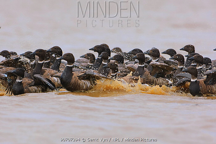 Brant geese (Branta bernicla) unable to fly during molt,  Teshekpuk Lake Special Area, Alaska. July.