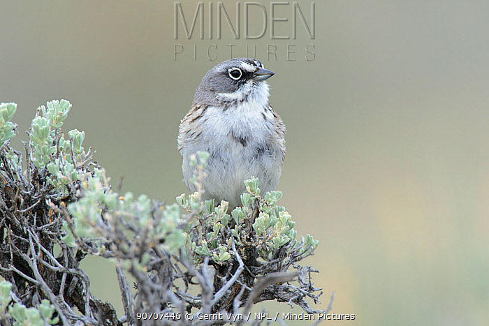 Sage sparrow (Amphispiza belli), Sublette County, Wyoming, USA. May.