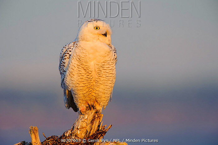 Snowy owl (Bubo scandiacus) during increase in numbers and range of snowy owl. Boundary Bay, Canada. March.