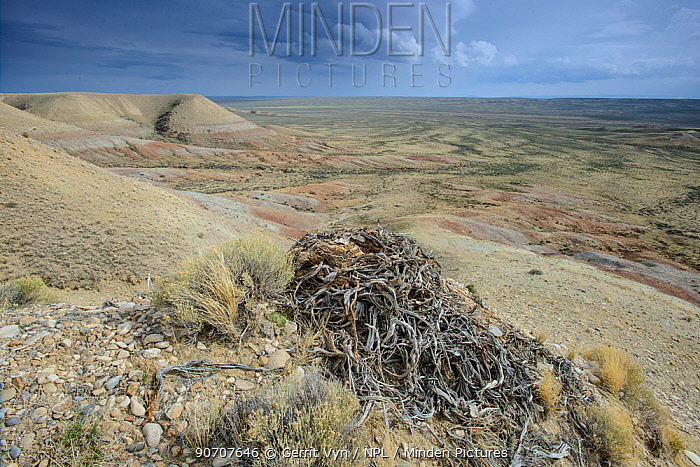 Ferruginous hawk (Buteo regalis) nest made of sage branches on a bluff. Sublette County, Wyoming, USA. May.