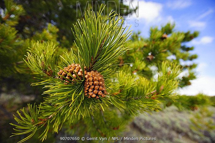 Lodgepole pine cones (Pinus contorta), Teton County, Wyoming, USA. May.
