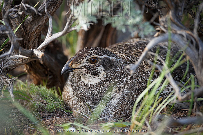 Greater sage-grouse (Centrocercus urophasianus) female incubating eggs on nest, Sublette County, Wyoming, USA. May.
