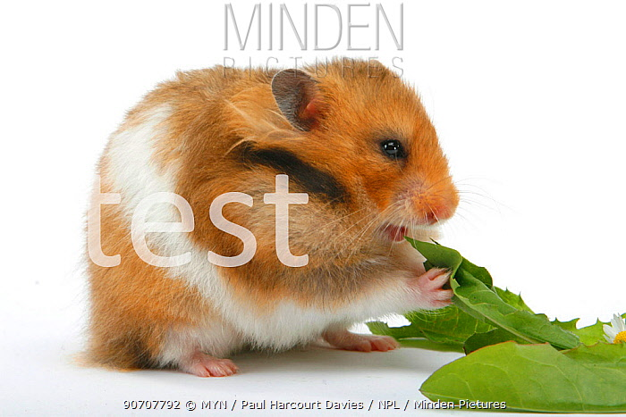 Portrait of Golden hamster (Mesocricetus auratus) feeding on green leaves, Germany