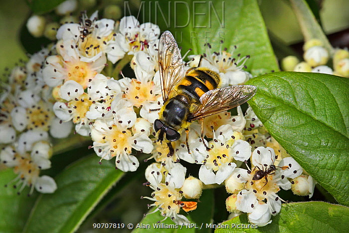 Hoverfly (Myathropa florea) feeding on Cotoneaster flower in garden, Cheshire, England, UK, June.